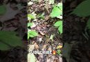 Ginseng In Thick Cover 2021 Ginseng #shorts #shortvideo  #short